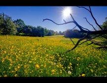 buttercup_field_by_keldbach-d51howv